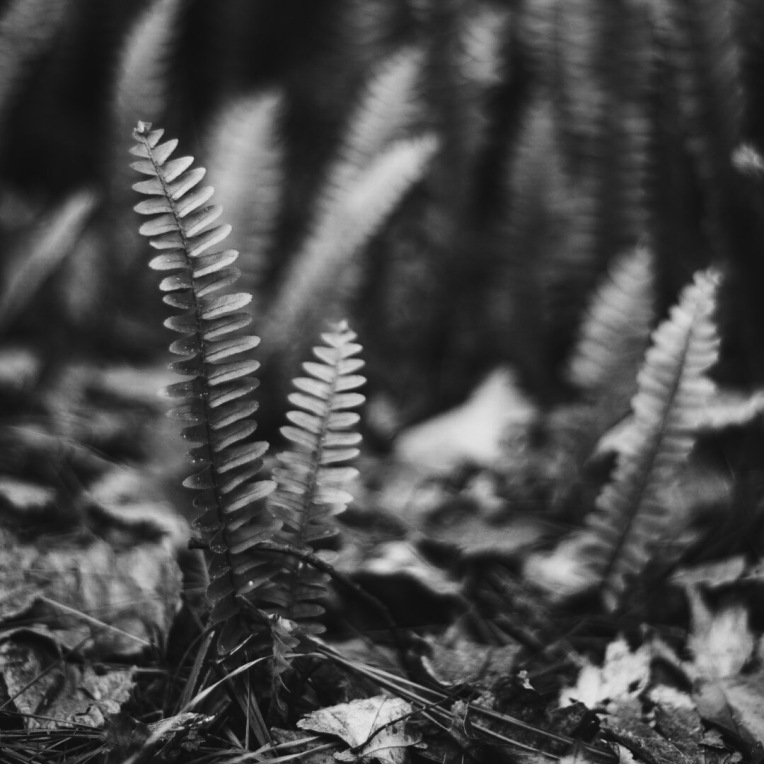 Ferns in Black and White
