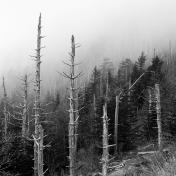 Dead Trees in Fog