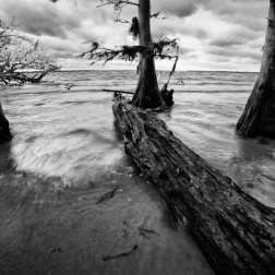 Cypress Trees by St. Johns River